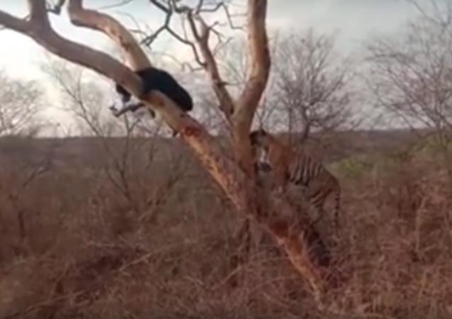 Un oso se salva de un tigre subiéndose a un árbol