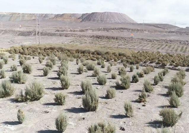Un bosque en pleno desierto: cómo Chile busca reforestar el Atacama