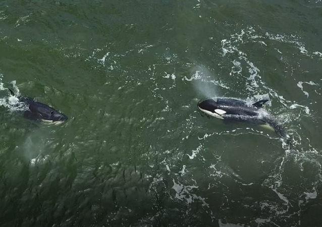 Orcas y ballenas blancas fueron liberadas en el Lejano Oriente ruso