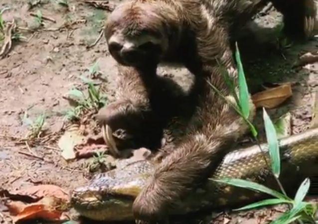 El encuentro de un perezoso con una anaconda pone los pelos de punta