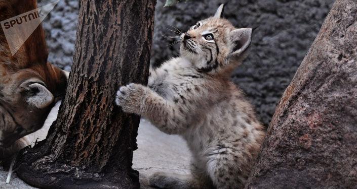 La familia de linces del zoo de Moscú gana nuevos miembros
