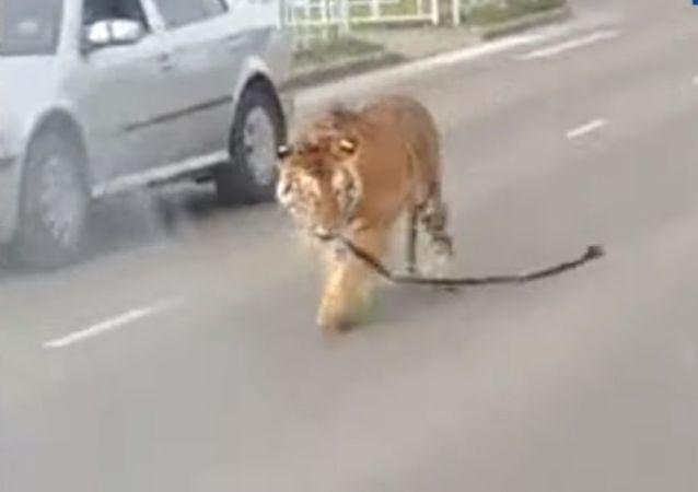 Un tigre recorre las calles de Ivánovo, en Rusia