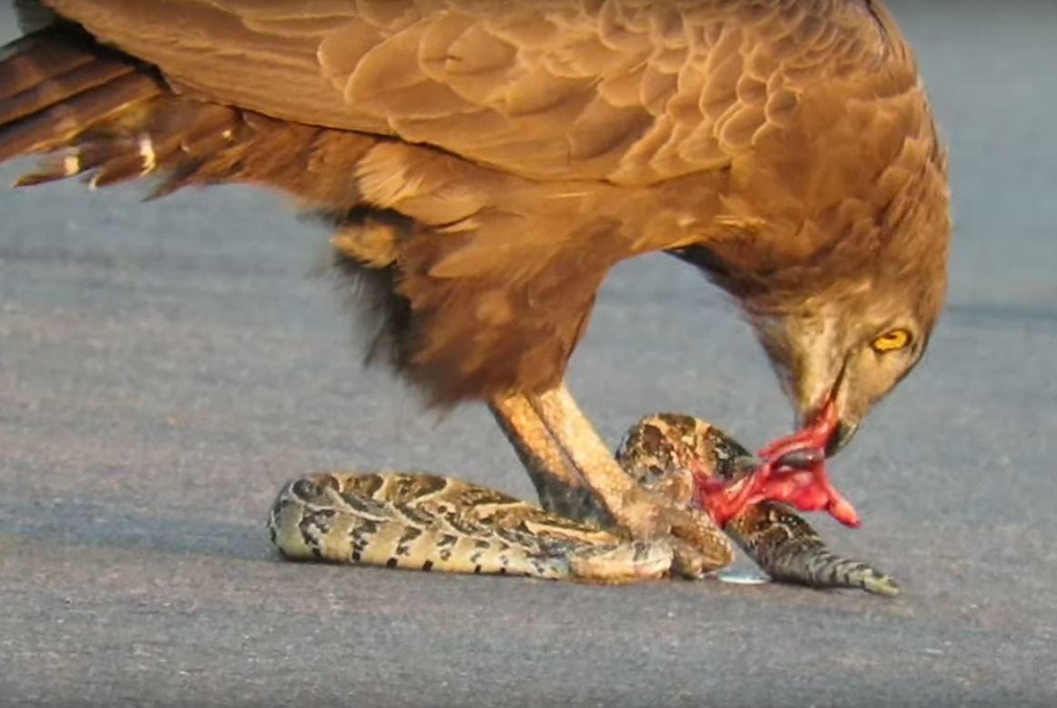 El águila marrón se come a la vívora aún viva