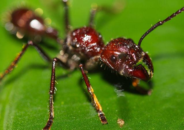 La 'hormiga bala' (Paraponera clavata)