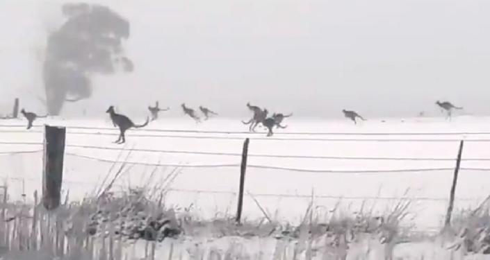 Como en un cuento de hadas: varios canguros disfrutan de la nieve en Australia