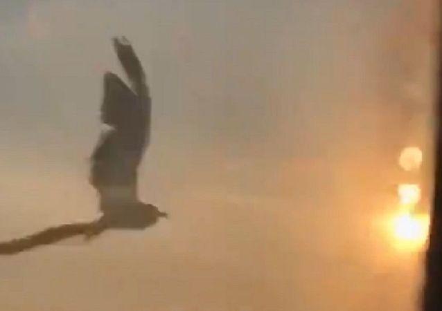 Uno de los pájaros que chocaron con un motor del A321 ruso