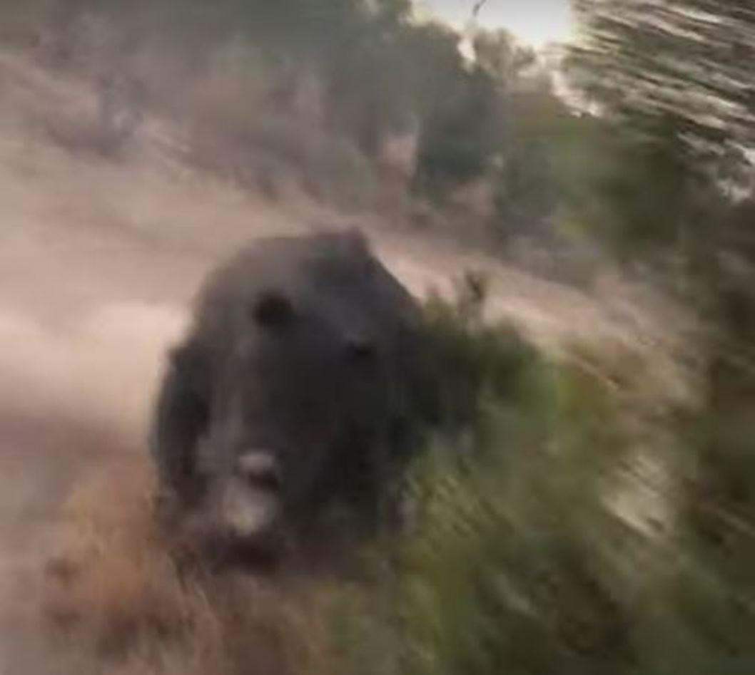 Los arbustos no fueron un obstáculo para el rinoceronte.