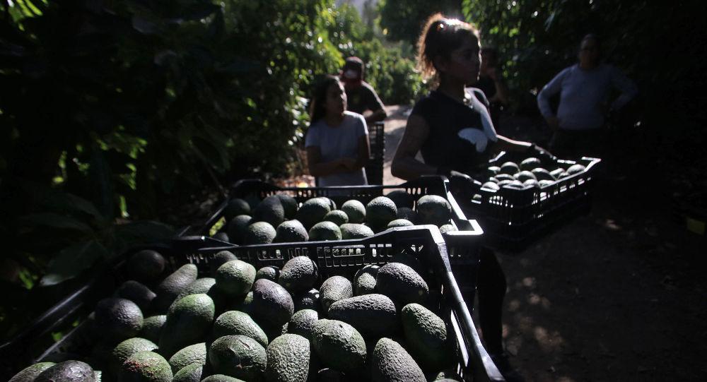 Cultivos de palta en Petorca, Chile