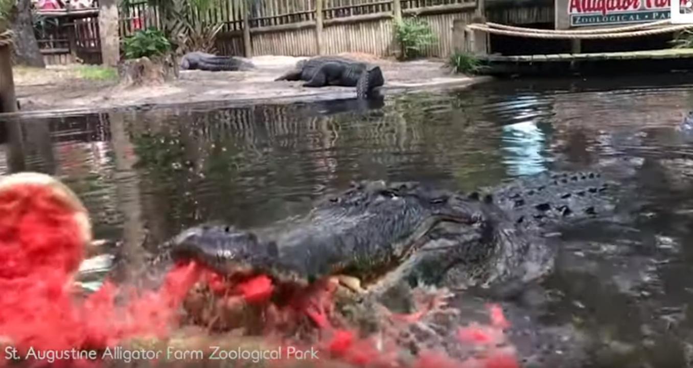 Un monstruoso aligátor demuestra su fuerza  destrozando una sandía en cuestión de segundos.
