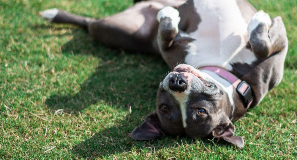 Un pitbull (imagen referencial)
