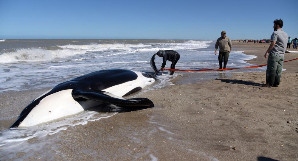 Una de las orcas encalladas en el balneario La Caleta en Argentina