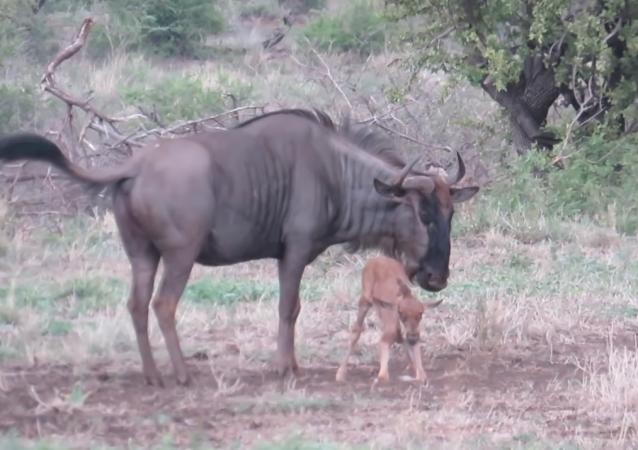 El poder del amor maternal: una ñu protege a su cría de los chacales