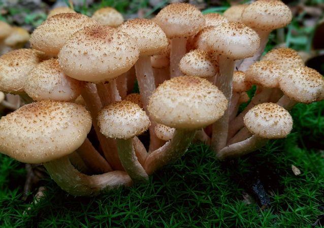 El hongo Armillaria