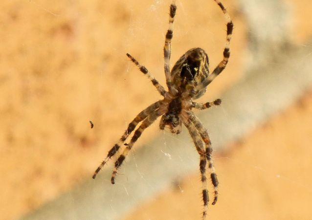 Un ejemplar de araña marrón. Imagen referencial