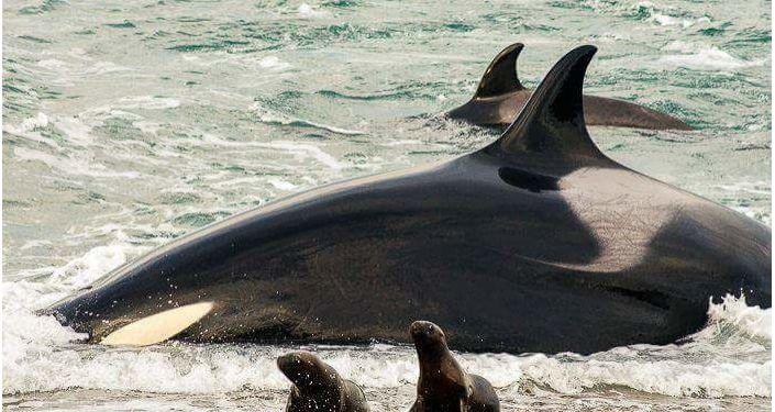 La orca es el predador máximo en el mar