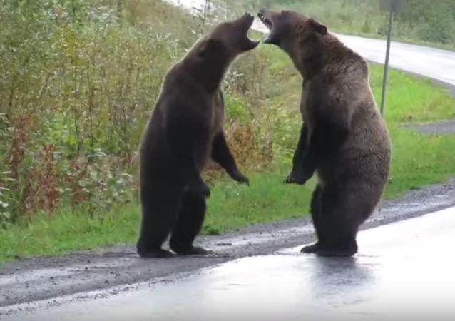 Pelea de osos en Canadá