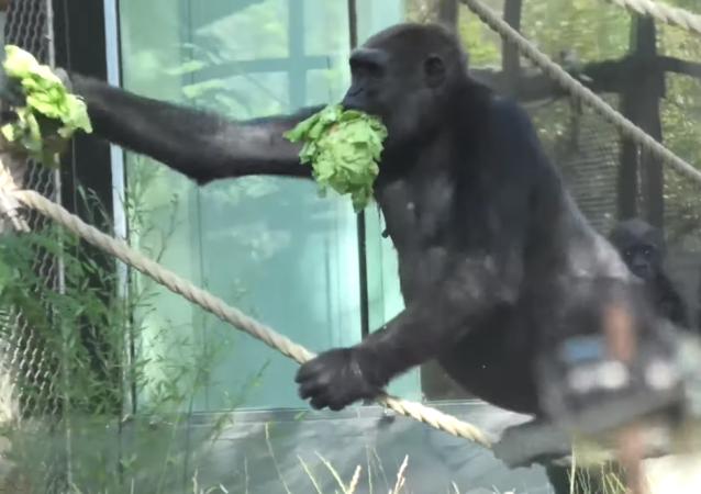 ¡Es todo mío! Un gorila glotón y egoísta hacer desaparecer toda la lechuga