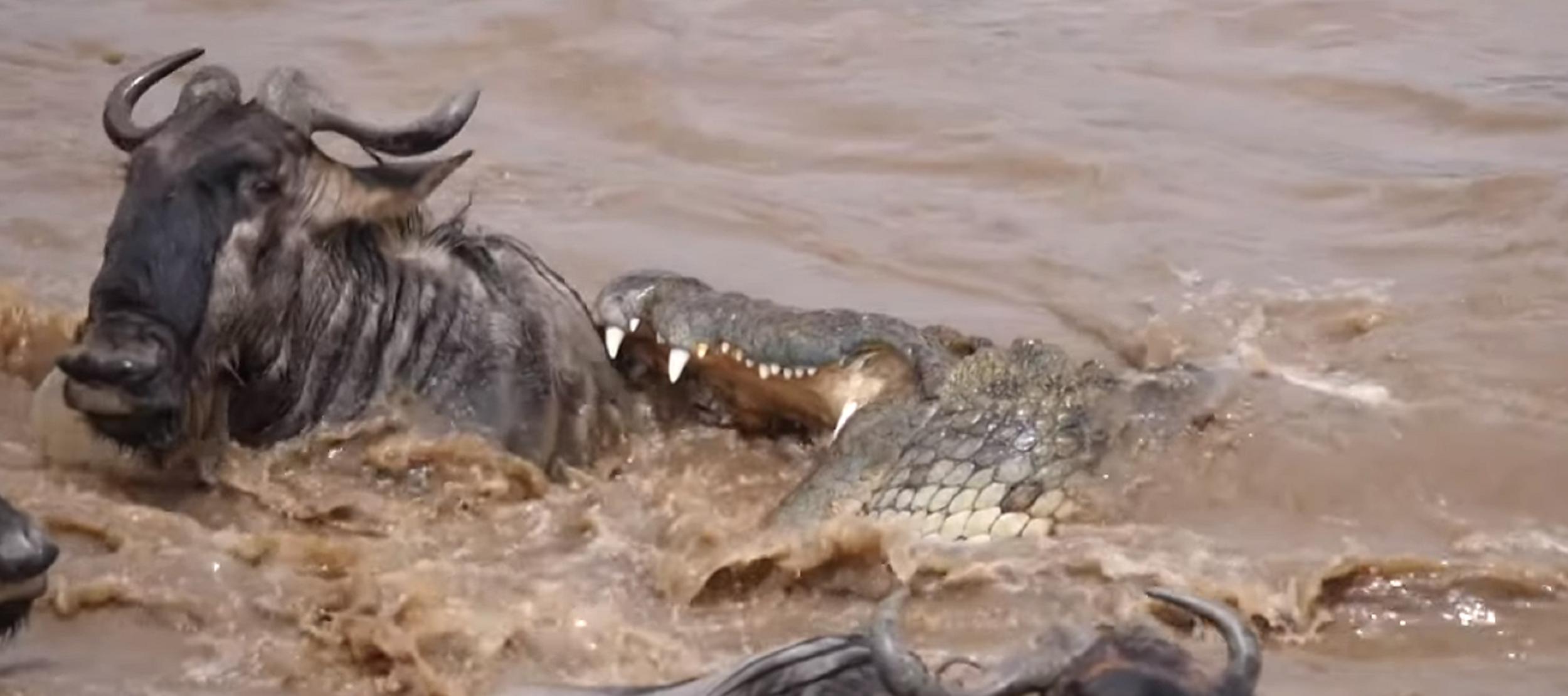 Así es cómo este ñu dejó con un amargo sabor de boca a un cocodrilo.