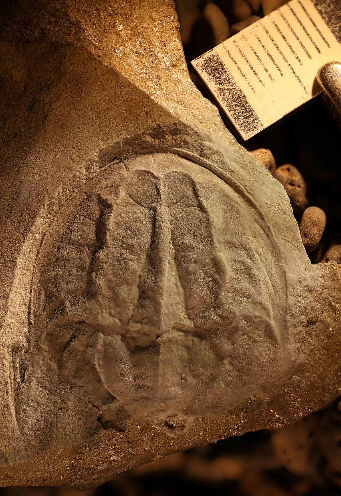 El fósil de la colección de la Universidad de Tasmania