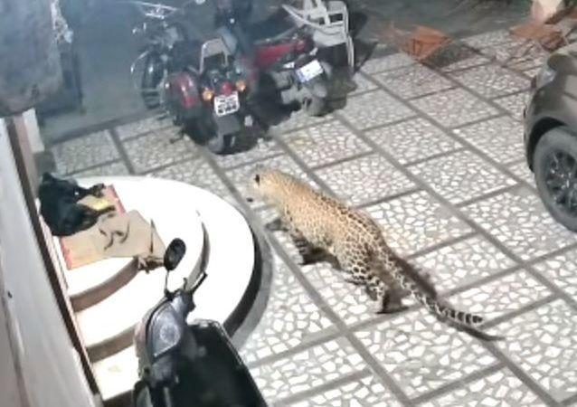 Un leopardo ataca a un perro que dormía tranquilamente en el patio de una casa