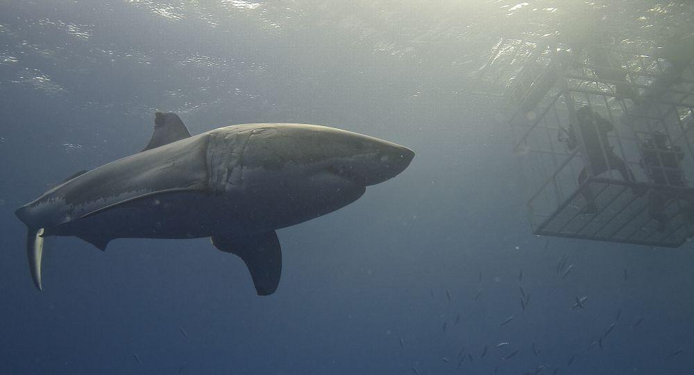 Un tiburón blanco cerca de una jaula