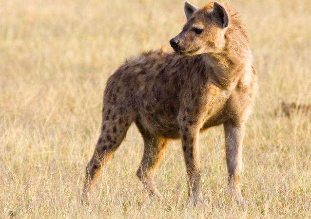 Una hiena, imagen referencial