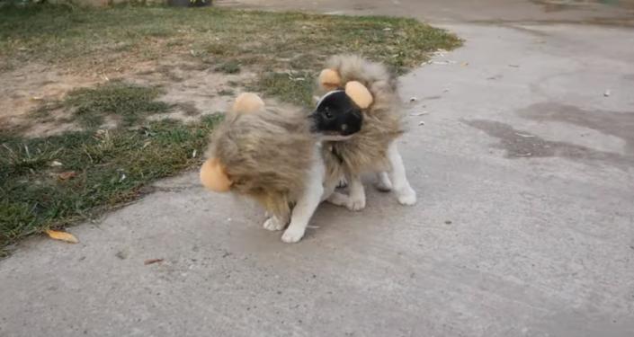 Este es el disfraz de Halloween perfecto para tu perro