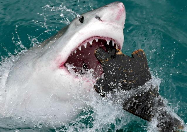El ataque de un tiburón blanco a una maqueta de foca
