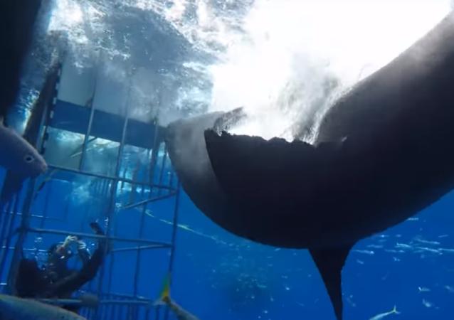 Un gran tiburón blanco mete la pata y provoca caos submarino