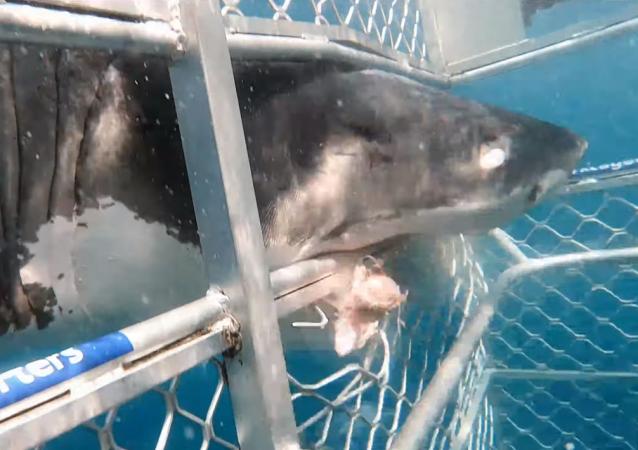 Un enorme tiburón se estrella de cabeza en una jaula de buceo