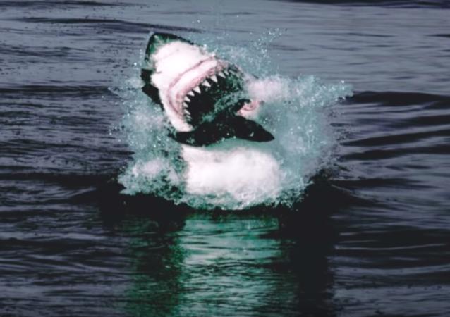 El ataque de un tiburón a unos lobos marinos