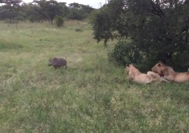 ¡Banzaaai! Un facóquero ataca a una manada de leones