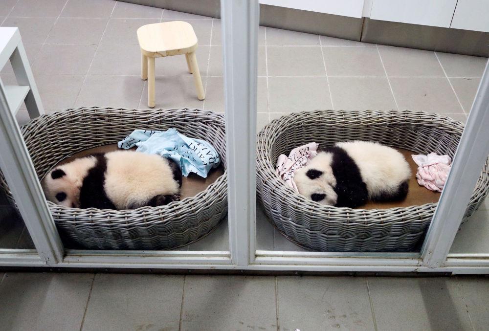 Hace tres meses, dos pequeños pandas nacieron en el zoológico Pairi Daiza: un macho y una hembra.