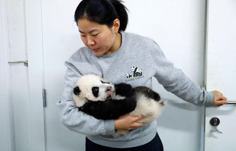 Bao Mei y Bao Di nacieron sin pelaje, como todos los pandas, pero en pocos meses han cultivado la famosa lana blanca y negra de estos animales.