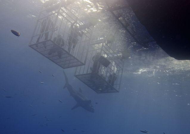 Un tiburón cerca de buceadores (imagen referencial)