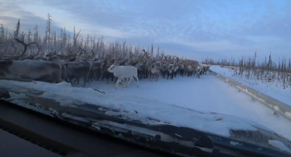 Miles de renos bloquean una carretera de Siberia