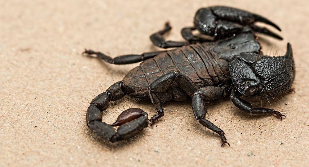 Un escorpión, imagen referencial