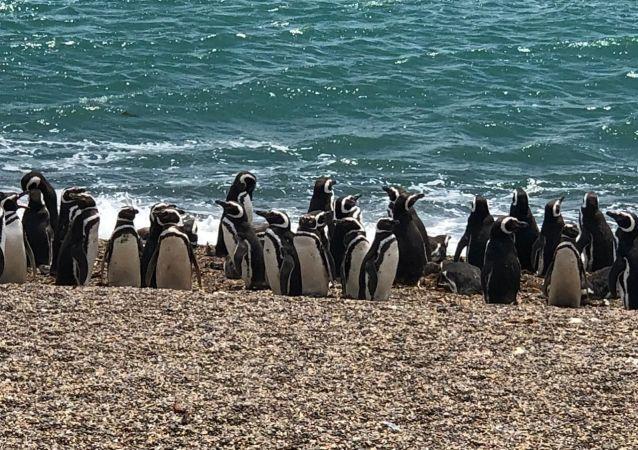 Pingüinos magallánicos en Chubut, Argentina