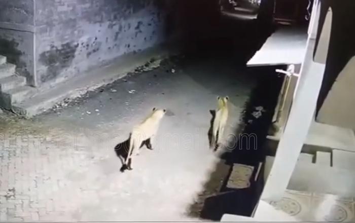 Leonas caminan por las calles de un pueblo indio