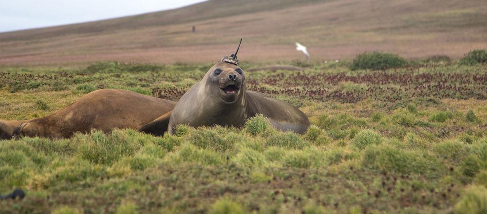 Un elefante marino utilizado por la NASA para investigar el cambio climático