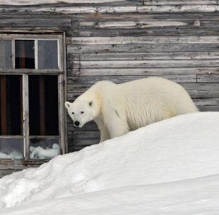 Un oso polar (archivo)