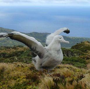 Albatros desplegando sus alas