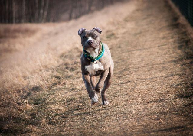 Un perro de la raza American Staffordshire Terrier