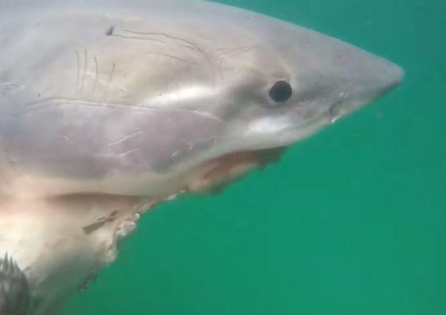 Un tiburón con su presa