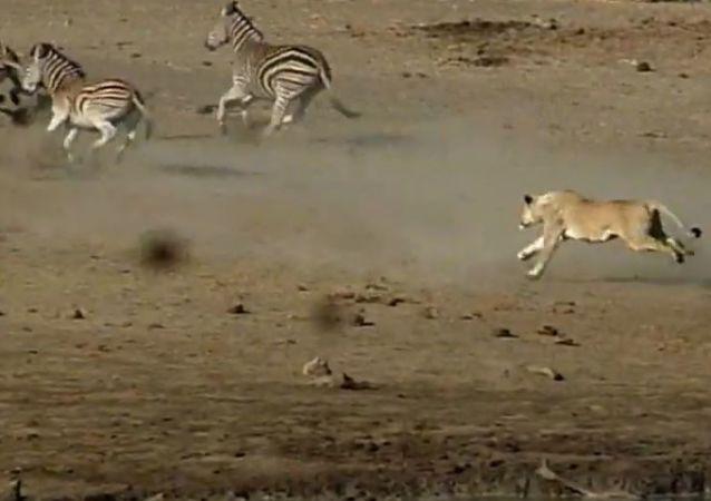 Una leona ataca a una manada de cebras