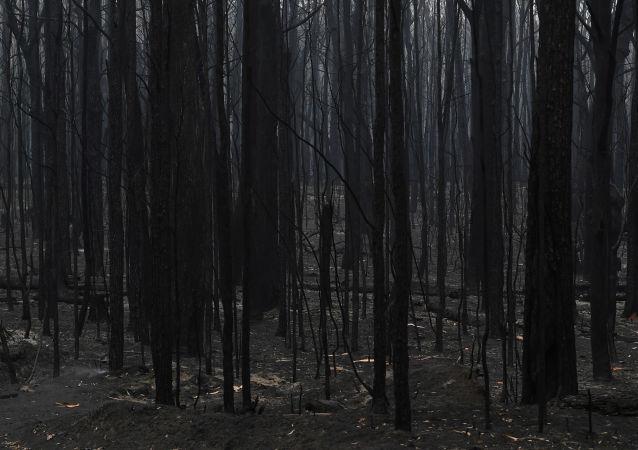 Un bosque quemado en Australia