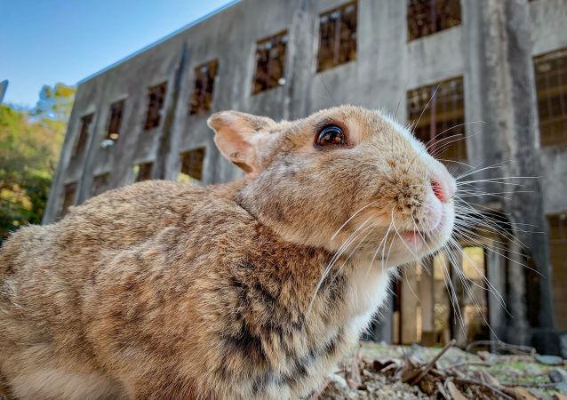 Conejo frente a las ruinas de la fábrica de gases tóxicos de Okunoshima