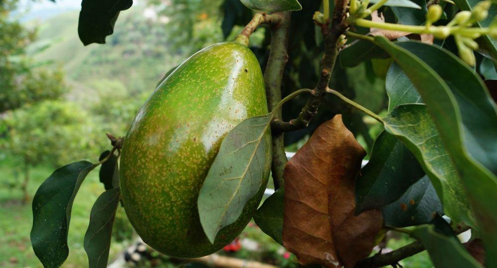 Aguacate, también conocido como palto - Imagen referencial