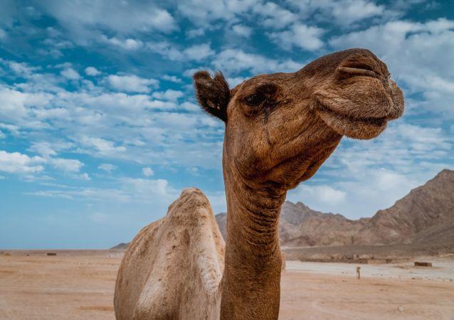 Camello sonriente