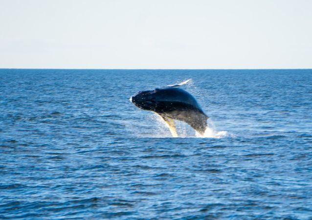 Un ejemplar de ballena azul saliendo a la superficie